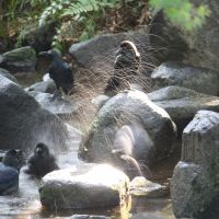 Birds' bath: Cleanliness to crow about in a stream flowing through Kitanomaru Koen.