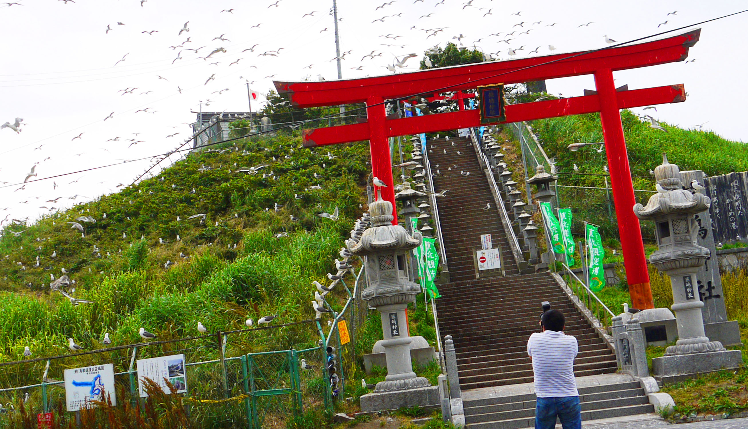 Hitchcockian highlight: Mind-boggling numbers of umineko (black-tailed gulls) can be observed up close at Kabushima Shrine in Hachinohe.   TOMOKO OTAKE PHOTOS