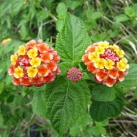 Native, not native: Lantana Camara, a beautiful invasive species originating in Central and South America that is extremely difficult to eradicate.