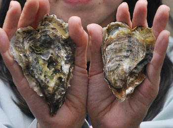 Bivalve Valentine: Heart-shaped oyster shells are shown to the media Tuesday at City Hall in Sasebo, Nagasaki Prefecture.   KYODO PHOTO