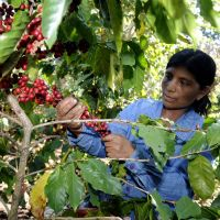 Central America battles to save coffee from fungus