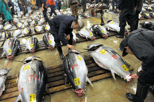 Does Japan's affair with tuna mean loving it to extinction?