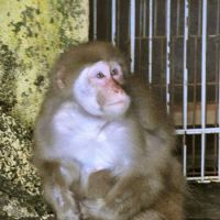 Monkey madness: Lucky, a female macaque, sits in her cage at Rakujuen National Park in Mishima, Shizuoka Prefecture, in December. The notorious monkey, which went on a biting spree that terrorized the city for weeks — was found missing from the park's zoo Monday morning. | KYODO PHOTO