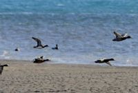 Open skies: Wigeons fly over the Hitotsuse River in Shintomi, Miyazaki Prefecture, on Monday. | KYODO PHOTO