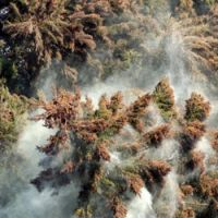 Something to sneeze at: Clouds of pollen emanate from cedars in Sagamihara, Kanagawa Prefecture, in this March 2005 file photo.   KYODO PHOTO