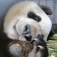 They're here: Female giant panda Xiannu lies in a cage Monday at Pudong International Airport in Shanghai before arriving with her mate Bili at Narita airport later in the day aboard a panda-painted All Nippon Airways jet. | KYODO / YOSHIAKI MIURA PHOTO
