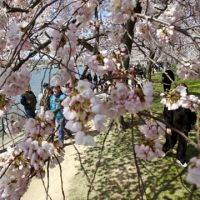 Fleeting beauty: Visitors walk under blooming cherry trees during the Cherry Blossom festival at the Tidal Basin in Washington, D.C., on Saturday.   AP PHOTO