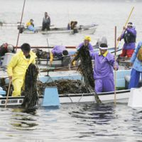 Back in business: Fishermen harvest seaweed Saturday in Miyako, Iwate Prefecture, for the first time since the March 11 quake and tsunami. | KYODO PHOTO