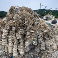 Rising from the rubble: Oyster shells lie near the hull of a shattered fishing boat after being hauled out at Koamikura beach in Ishinomaki, Miyagi Prefecture, on May 30.   ROB GILHOOLY PHOTOS