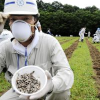 Seeds of hope: A Fukushima municipal employee shows sunflower seeds being planted Wednesday to reduce radiation contamination in a field in the Oguraji district. | KYODO PHOTO