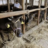 Rawhide: Cattle are tended to Thursday in Kurihara, Miyagi Prefecture, the same day all Miyagi beef shipments were banned. | KYODO PHOTO