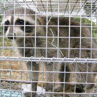 Call me Rocky: A raccoon is caged July 27 in Amagasaki, Hyogo Prefecture. | KYODO PHOTO