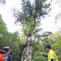Visitors take photos of the tree, estimated to be more than 2,000 years old.