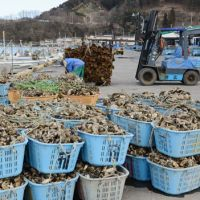 Shellshocked: Harvested oysters are stacked in baskets by the sea in Ishinomaki, Miyagi Prefecture, in February. | KYODO
