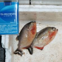 Count your fingers: Two piranhas, presumably pets, are shown Saturday next to a cigarette pack after they were caught in a river in Atsugi, Kanagawa Prefecture. | KYODO
