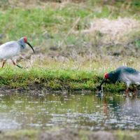 Rare breed: A pair of Japanese crested ibises are seen in the wild in Sado, Niigata Prefecture, on April 30.   ENVIRONMENT MINISTRY / KYODO