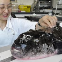 Puffed with pride: A Yamaguchi fisheries researcher measures a tiger fugu Wednesday that was caught Monday.   KYODO