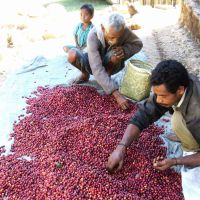 Rich pickings: East Timorese farmers sort coffee beans in 2009. Japanese NPOs started importing coffee to assist the country's economy after its independence in 2002.   KYODO/PEACE WINDS JAPAN