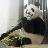 No ice cream?: Shin Shin eats bamboo leaves Monday in Tokyo's Ueno Zoo, which announced the giant panda appears to be pregnant. | KYODO