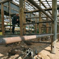 Matsumura gives a weakened calf milk as abandoned ostriches and a dog watch behind him.   KYODO