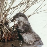 Going, going: A river otter eats a fish in the Shinjo River in Susaki, Kochi Prefecture, in June 1979. The Environment Ministry has declared the mammal species extinct. | KOCHI SHIMBUN / KYODO
