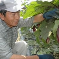 Green thumb: Kenji Nakahara, who spent his entire working life at  Toyota Motor Corp., tends vegetables he is growing on a farm in  Toyota, Aichi Prefecture, in July.   KYODO