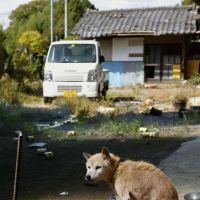 Dogged persistence: Kiseki (Miracle), rescued from starvation, sits leashed to a stake Oct. 17 in the town of Tomioka, Fukushima Prefecture. | KYODO