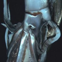 Sub chases, films giant squid going to Pacific abyss