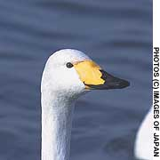 Whooper swans from Siberia overwintering in Hokkaido display the normal yellow nib-pattern (above), and an unusual 'darkie' one (below).