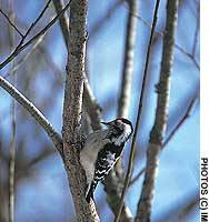 A lesser spotted woodpecker in Hokkaido (above), and a Pryer's woodpecker in Okinawa (below)