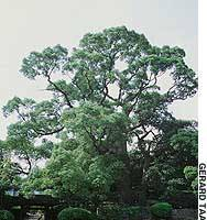 Once the spiritual protector of an ancient castle on the site, this 435-year-old camphor tree (top) now towers over Sorakuen Garden in Kobe, where a 17th-century houseboat (above) once used by the lord of Himeji to host floating parties is now preserved high and dry. The garden's marvelous range of plants includes 'prehistoric' sago palms like this flowering male (below).