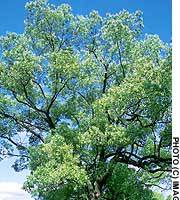A magnificent camphor tree in Hiroshima, where the species is the official city tree in commemoration of those that survived the 1945 atomic bombing.