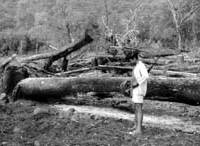 A game warden in the Simien Mountains of Ethiopia in 1969 surveys the result of illegal deforestation by villagers bent on creating more grazing land.