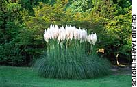 A stand of pampas grass in full bloom at the Hattori Ryokuchi Arboretum in Osaka.