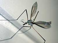 A crane fly lives up to its 'daddy longlegs' name.
