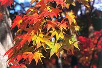Autumn chilly spell yields a spectacular cast of colors