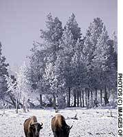 Yellowstone bison  in winter, when they use their enormous heads expose forage.