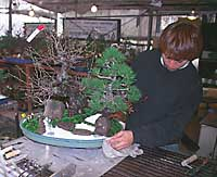 A nurseyman puts the finishing touches to a sho-chiku-bai tray landscape, comprising bonsai trees, 'hills,' a dry waterfall and a 'river' of gravel.