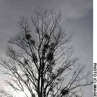 Clumps of mistletoe, a parasite revered by pagans, grow in a towering Hokkaido elm.
