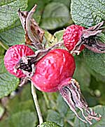 Forest fruits: rose hips (top) and rowan berries