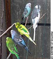 Budgerigars (above), chickens and ostriches (below) are just a few of the avians humans rely on in innumerable ways.