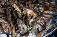 Shrimp farms: pawns in ecosystem destruction