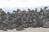 The massive creche of fur seals on the beach at Tyulenii looks intimidating from a distance - and little better when viewed close up.