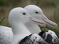 A young pair of southern royal albatrosses on Campbell Island