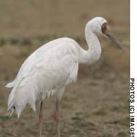 The solitary Siberian crane that brought a special sparkle to a late-winter birding trip to Kyushu last month, and which is now likely seeking out its breathen somewhere over the Asian steppers.