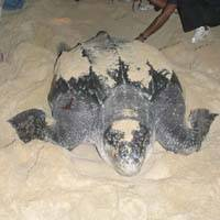 A leatherback lays her eggs amid a protective crowd