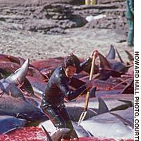'Secret' dolphin slaughter defies protests