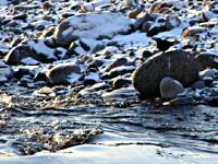 Brown dippers in the riverine world to which they are so well adapted, and where even in the depths of a Hokkaido winter (below) they still seem to be enjoying themselves as they plunge into icy streams to take a walk on the bed and root out the larvae on which they feed.