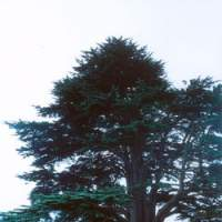 The magnificent Lebanon cedar that towers over the lawn at Baskerville Hall in Hay-on-Wye in the Welsh border county of Powys. Probably planted around the time the hall was built in 1839, the tree would surely have also impressed Sir Arthur Conan Doyle, a friend of the Baskerville family who often stayed as a guest at the hall. | TADASHI OKOCHI PHOTOS
