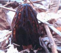 A black morel in its full, peculiar and rare glory. | KASAI PHOTO